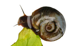 Great ramshorn, isolated stock photo