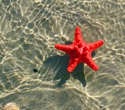 Great and rare red starfish floating on the ocean water Stock Photo