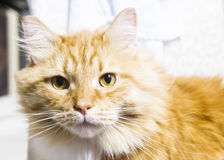 Great red cat of siberian breed in the house Royalty Free Stock Photography
