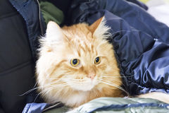 Great red cat of siberian breed in the house Stock Photography