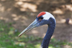 Great Red Headed Heron Portrait Stock Images