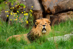 Great red lion resting in the grass Royalty Free Stock Image