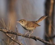 Great Reed Warbler Royalty Free Stock Photography