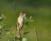 Great Reed Warbler Royalty Free Stock Images