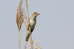 Great Reed Warbler Stock Images