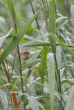 Great reed warbler Stock Photos