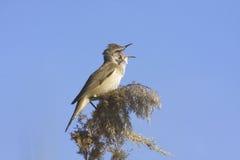 Great reed warbler / Acrocephalus arundinaceus. A great reed warbler (Acrocephalus arundinaceus) singing on reed Stock Photos