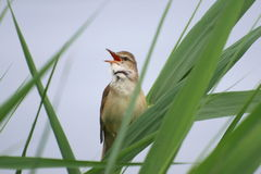Great Reed Warbler, , Acrocephalus arundinaceus, Royalty Free Stock Photography