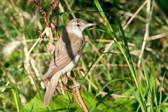 Great reed warbler ( Acrocephalus arundinaceus ) Stock Image