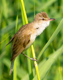 Great reed warbler ( Acrocephalus arundinaceus ) Royalty Free Stock Photos