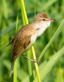 Great reed warbler ( Acrocephalus arundinaceus ) Royalty Free Stock Photos