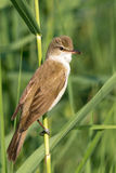 Great reed warbler ( Acrocephalus arundinaceus ) Royalty Free Stock Photo