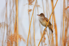 Great Reed Warbler (Acrocephalus arundinaceus) Stock Image
