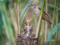 The Great Reed Warbler, Acrocephalus arundinaceus is feeding its chicks inside the reeds, there is strong rain. Young birds have royalty free stock photography