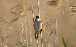 Great Reed Warbler (Acrocephalus arundinaceus) Royalty Free Stock Photography