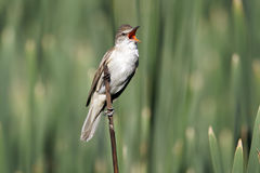 Great-reed warbler, Acrocephalus arundinaceus Stock Photography
