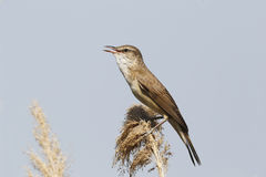 Great-reed warbler, Acrocephalus arundinaceus Stock Photos