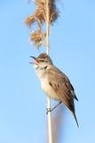 Great Reed Warbler (Acrocephalus arundinaceus). Stock Photography