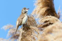 Great Reed Warbler (Acrocephalus arundinaceus) Royalty Free Stock Photo