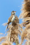 Great Reed Warbler (Acrocephalus arundinaceus) Royalty Free Stock Photography