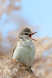 Great Reed Warbler (Acrocephalus arundinaceus). Stock Photo