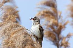 Great Reed Warbler (Acrocephalus arundinaceus) Stock Photo