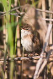 Great Reed Warbler bird singing Acrocephalus arundinaceus Royalty Free Stock Images