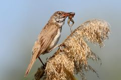 Great reed warbler catch and eats a little frog. Stock Photo