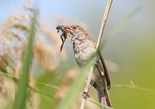 Great reed warbler catch and hold in beak a little frog. Royalty Free Stock Image