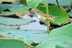 Great Reed-warbler Royalty Free Stock Image