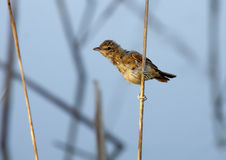 Great reed warbler Stock Image