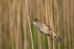 Great Reed Warbler. Great Reed-warbler hanging on to a reed stem Royalty Free Stock Photo
