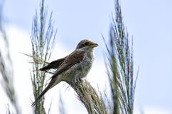 Great Reed Warbler perched on a reed. Great, beautiful bird perched on a reed warbler Stock Photo