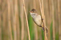 Great Reed Warbler portrait. Great Reed-warbler hanging on to a reed Stock Image