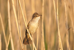 Great Reed Warbler on reed stem Royalty Free Stock Photo