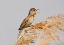 Great reed warbler singing Royalty Free Stock Image