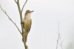 Great reed warbler Royalty Free Stock Photos