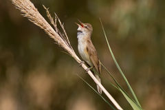 Great Reed Warbler Singing Stock Images
