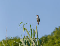 Great Reed Warbler. Sitting on reed Stock Photos