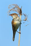 Great reed warbler, sky background Stock Photo