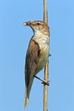 Great reed warbler, sky background Royalty Free Stock Images