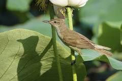 Great Reed Warbler Stock Photography