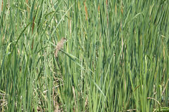 Great Reed-warbler Stock Image