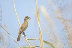 Great Reed-warbler. The Great Reed-warbler stands on stem of reed. Scientific name: Acrocephalus arundinaceus Royalty Free Stock Photo