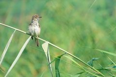 Great Reed Warbler Royalty Free Stock Image