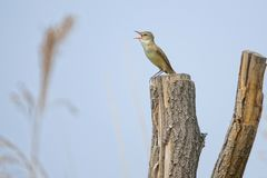 Great Reed-warbler. The Great Reed-warbler stands on top of tree trunk. Scientific name: Acrocephalus arundinaceus Royalty Free Stock Photo