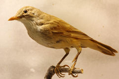 Great reed warbler taxidermy Stock Photography