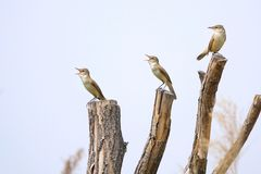 Great Reed-warbler. Three Great Reed-warbler stand on top of tree trunk. Scientific name: Acrocephalus arundinaceus Stock Photography