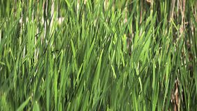 Great Reedmace or Bulrush, typha latifolia, Plants in the Wind, Pond in Normandy,. Slow Motion stock footage