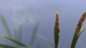 Great Reedmace or Bulrush, typha latifolia, Pollen being released from Plant, Pond in Normandy. Slow Motion stock video